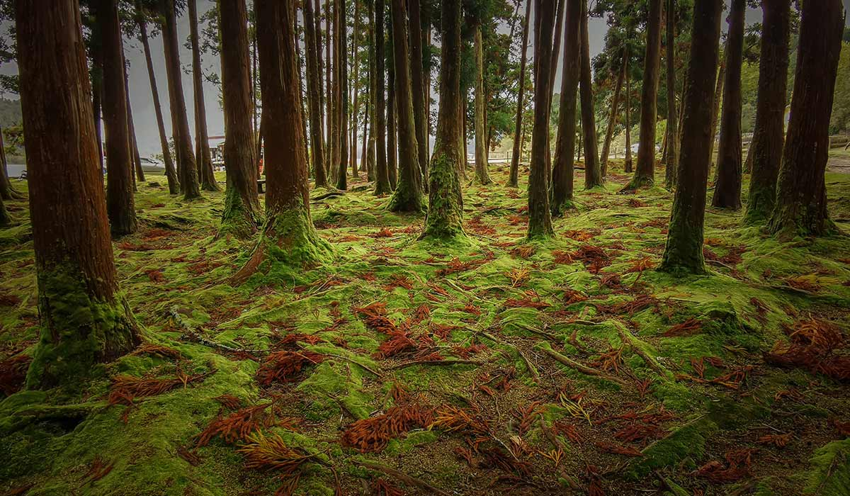 Furnas Forest Azores Portugal